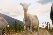 Close Up Of Goats In Nature. Amazing Nature. Close Up Of A Goats In Meadow In Nature. Goat. Nature.  poster