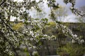 Flowers, Cherry Blossoms On The Branches On A Spring Day. Beautiful Spring Background. Spring Flower poster