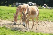 Two Asiatic Wild Asses, Onagers (equus Hemionus) In The Zoo poster