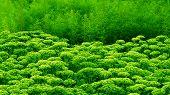 Sedum Plant Leaves Row Green Succulent Landscape Design Border. Vivid Sedum Line Horizontal Floral S poster