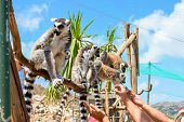 Ring-tailed Lemurs Feeding In A Contact Zoo. poster
