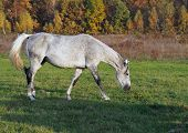 The Gray Mare Of Warmblood Breed On An Autumn Pasture poster