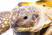 image of testudo  - head and face of a tortoise  - JPG