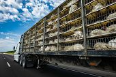 Low Angle And Rear View Of A Transportation Turkey Truck On The Roads, Lot Of White Turkeys In Cages poster