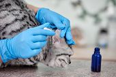 Closeup Of Qualified Veterinarian Checking Ear Of Scottish Straight Cat poster