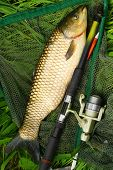 image of fighter-fish  - The White Amur or Grass Carp  - JPG