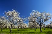 Apple Orchard in the middle of the spring season. Panoramic photo.