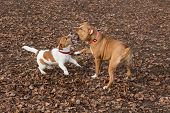 Jack Russell Terrier Puppy And American Staffordshire Terrier Puppy Are Playing In The Autumn Park.  poster