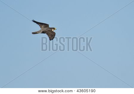 Peregrine Falcon Flying In Blue Sky