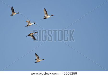 Cinco macáes norte voando no céu azul
