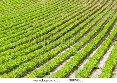 Rows Of Young Carrot