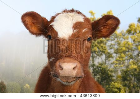 A Friendly National Park Cow