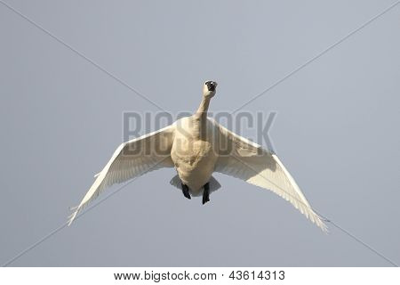 Tundra Swan Flying Overhead On Spring Migration