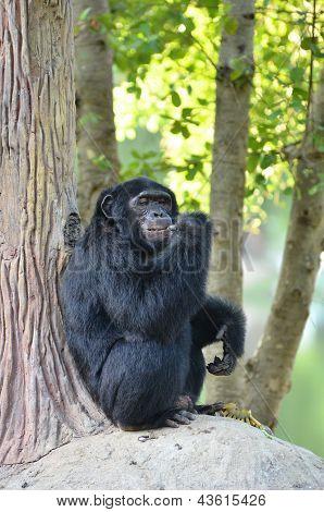 chimpanzee eating banana in zoo