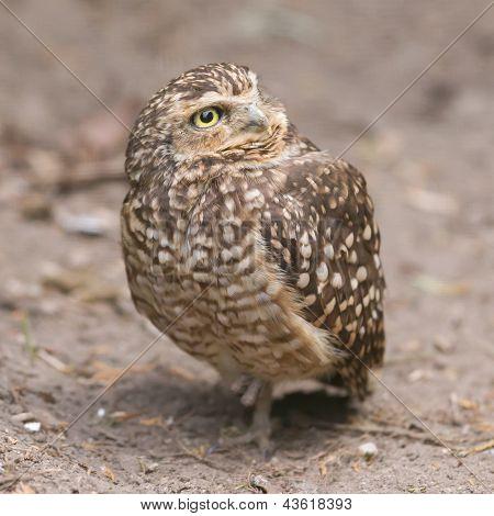 Burrowing Owl (athene Cunicularia) In Captivity
