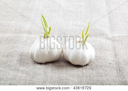 Two Bulbs Of Garlic Isolated On A Cloth.