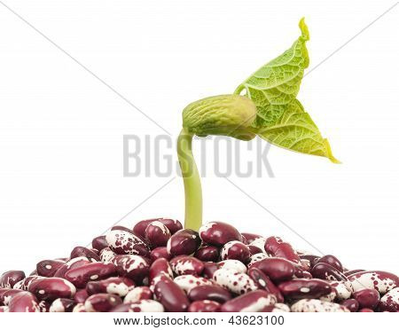 Haricot sprout