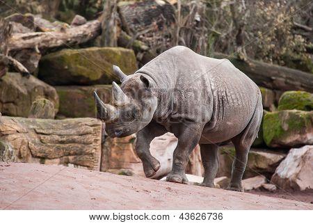 Animal Life In Africa: Black Rhinoceros