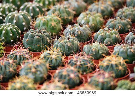 Succulent Plants To The Flower Market, Selective Focus