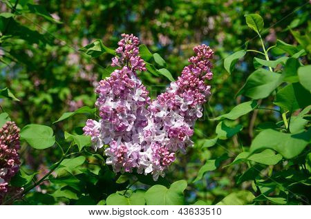 Flowering Lilac
