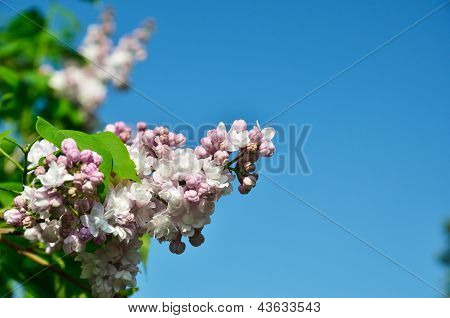 Panicle Of Lilac Against The Blue Sky