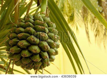Seed Pod einer Palme