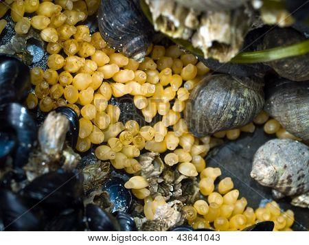 Seashell And Barnacles On Rocks At A Beach's Tidepool
