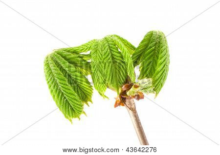 Fresh Spring Conker New Leaves With Branch Isolated
