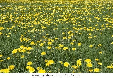 Field From Yellow Dandelions