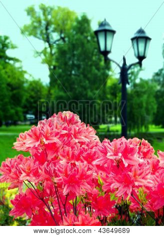 Red Rhododendrons In The Riga Park