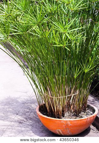 King Tut Papyrus Plants