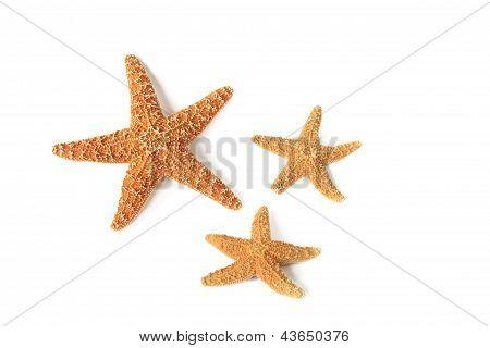 Starfish (Asterias rubens)