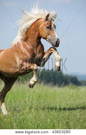 Nice Prancing Haflinger Stallion