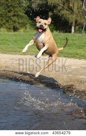 Nice American Staffordshire Terrier Jumping