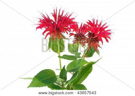Monarda flower
