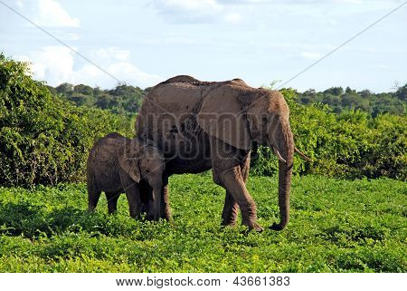 Mother And Baby African Elephants, Botswana, Africa.