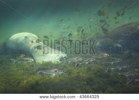 Manatees and Mullet