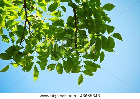 Branches Of Manchurian Walnut
