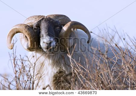 Male Sheep With Curled Horns