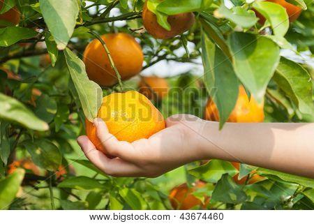 The Boy Hand Picking An Orange On Branch Tree.