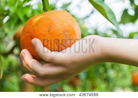 The Boy Hand Picking An Orange On Branch Tree.