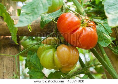 Tomato On Branch Tree.