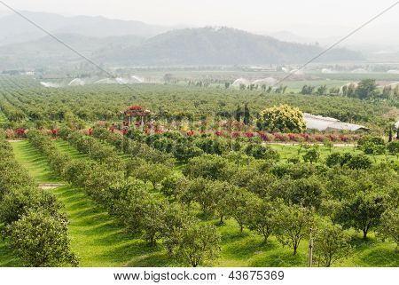 Orange Orchard In Chiang Mai,northern Thailand.