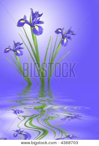 Iris Flower Tranquility