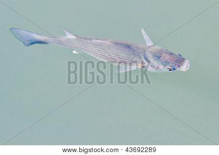 Fish Closeup