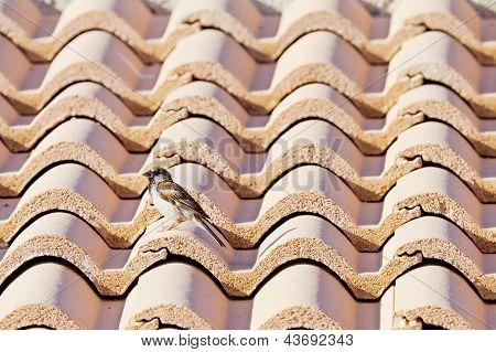 Sparrow On A Roof