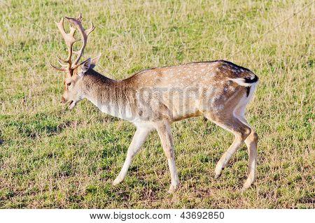 Fallow Deer Closeup