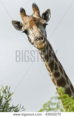 Inquisitive Giraffe