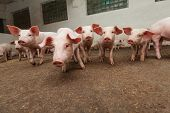stock photo of pig-breeding  - Pigs during feeding - JPG