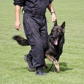 stock photo of alsatian  - Police dog - JPG